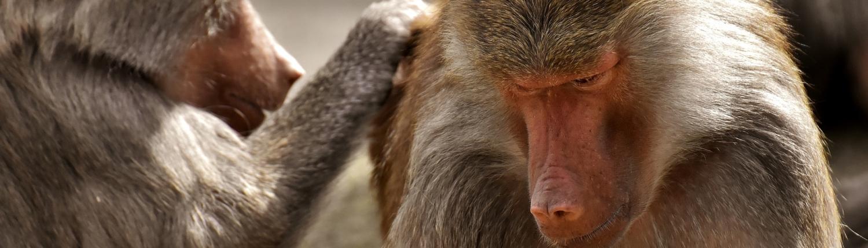 Das dichte Affenfell muss mehrere Stunden am Tag nach Ungeziefern durchsucht werden.
