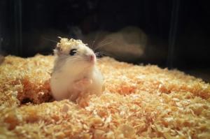 Tiere Hamster Vierbeiner